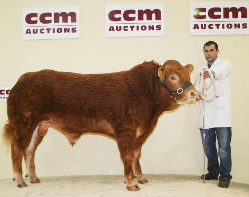 ROUNDHILL SATURN Sires Champion at Northern Limousin Extravaganza