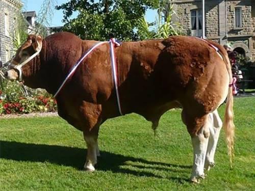 NEW Limousin Semen - CASIMIR