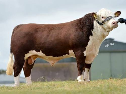 NEW Polled Hereford Bull - Dendor Kohinoor 1