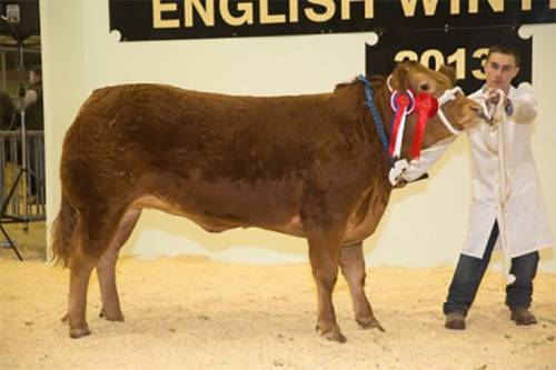 Pedigree Limousin Champion at English Winter Fair
