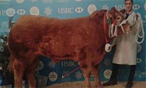 Champion Charolais Steer and Reserve Overall Steer at Welsh Winter Fair sired by AVRIL