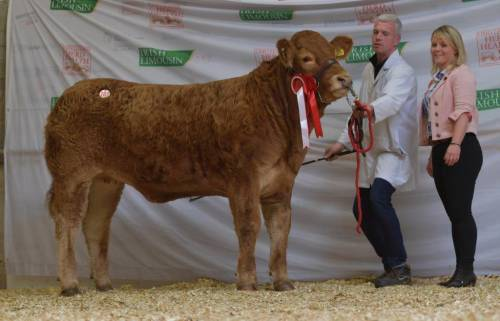 GOLDIES JACKPOT Yearling Heifer Sells for €5,700