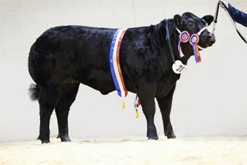 Elite Forever Brill Heifer WINS 2015 LiveScot