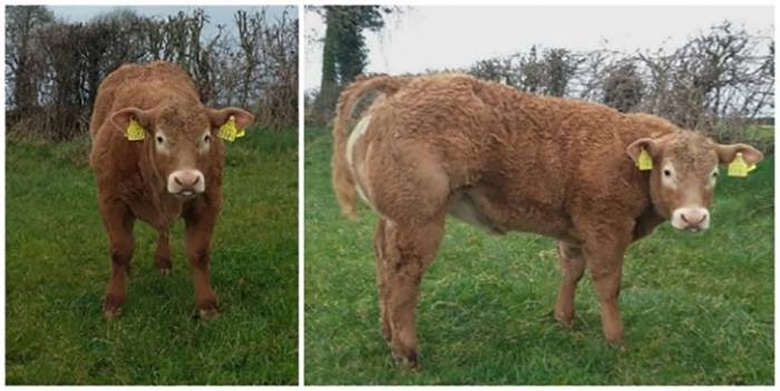 Fiston Heifer Calf