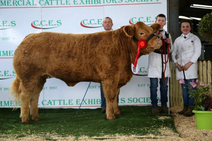 Champion Limousin Heifer showing no teeth