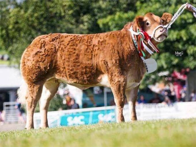 BECA - Supreme Champion Commercial Beef Royal Welsh 2016