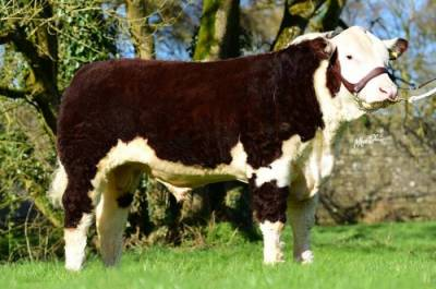 FABB 1 NORTHERN STAR Yearling Heifer Sells for €6000
