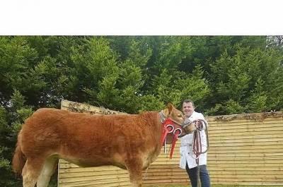 GOLDIES JACKPOT Heifer Champion at Oldcastle
