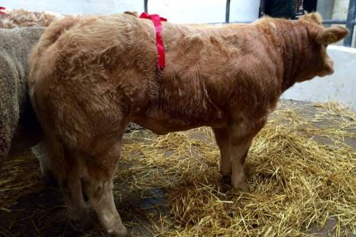 FISTON Crossbred Heifer Sells for €1750