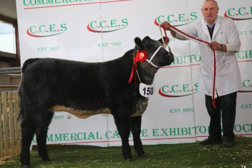 Goulding Jumbo King heifer Champion Angus Crossbred Calf