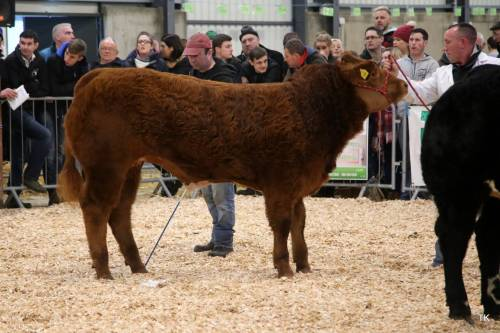 Elite FOREVER BRILL Crossbred Heifer sells for €4,100